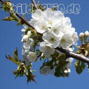 463.pb.-kirschblüten