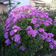 geranienbusch