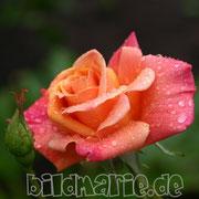 471.pb.-rose