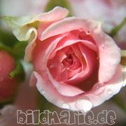470.pb.-rose