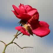 472.pb.-rose