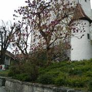 Magnolien-Baum (wie unserer zu hause)