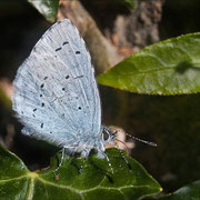 in the Holly Blue