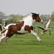 Als wir die Gänse auf der Pferdeweide entdeckten, wollten wir sie unbedingt in ein Foto einbeziehen. Cartoon hat brav mitgespielt! ;)