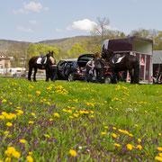 ...bevor die Pferde für die Auftritte geputzt und gesattelt werden.