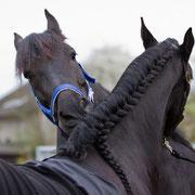 In den Tagen vor dem Auftritt sind alle Reiterinnen für das Quadrillen Training in der Showreitschule zusammengekommen. Diese beiden Friesen haben sich auf Anhieb gut verstanden, wie man sieht!