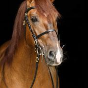 Dieses Pferd hat es vermutlich nicht nur mir angetan: Lusitanohengst Dinamico beeindruckt nicht nur durch seine Farbe, sondern auch seinen Charakter!