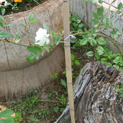 原種バラ(白)