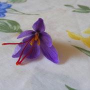 Fleur de Crocus sativus Le Safran Saint-Gaudinois