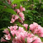 里山に咲くタニウツギ(5月)