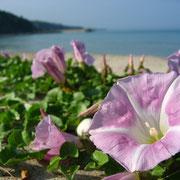 海岸に咲くハマヒルガオ(5月-6月)