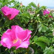 志賀町の町花はまなす(5月)