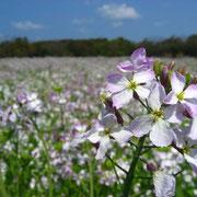 ハマダイコンの花畑(5月)