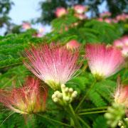 華やかなねむの木の花(7月)