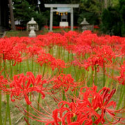 (富来領家町)住吉神社の彼岸花(9月)