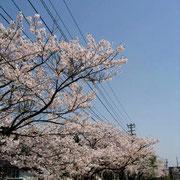 三明地区の桜並木(4月)