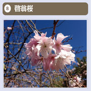 浅井の一本桜へと歩みを進めていく途中に咲いている桜です。昭和5年に山本在住の良永敬太郎氏がシナミザクラを土台にコヒガンザクラを接いだところ誕生した品種で、同じく山川在住の花卉研究家が作出者の名を取り、「敬翁桜」と命名したそうです。