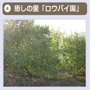 """蝋梅は、中国原産で、「""""蝋細工""""のように光沢のある、梅に似た花」から「蝋梅」の名になったともいわれており、黄色い花をつけた大小あわせて約150本の蝋梅は、甘い香りを放っています。1月半ばから2月上旬くらいまで見頃を迎えます。"""