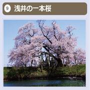 幹周り4.3m、高さ18mの山桜で、樹齢約100年といわれます。地元で大切に保護されており、毎年見事な花を見ることができます。昭和61年には、市の保存樹木に指定され、市民の貴重な緑の財産として親しまれています。