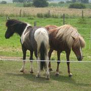 Unsere Islandpferde Lusi rechts-Trostan links (Sohn von Lusi)