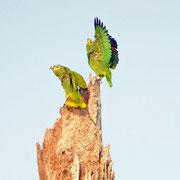 Perroquets amazone