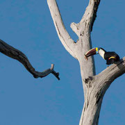 Toucan à bec rouge construisant son nid