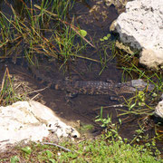 Juhuuu... unser erster Alligator!