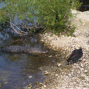 das sehen auch die Alligatoren...