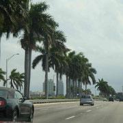 Miami-Palmen