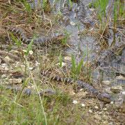 Jeder Alligator bingt jährlich ca. 30 - 40 Junge zur Welt...