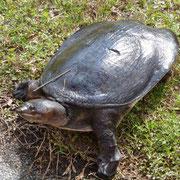 schau nicht so doof.... Diese Schildkröte kommt nur 1 mal jährlich aus dem Wasser...