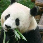 Wolong, panda