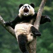 Wolong panda on a tree