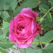 Im Winter gepflanzte, alte Rosensorte, schon in der Antike bekannt: Rosa Damaszena