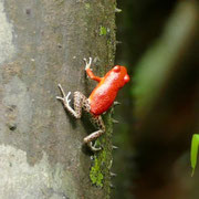 Erdbeerfrosch/Pfeilgiftfrosch by WG