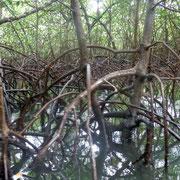 Mangrovenwald in der Karibik by Hans Geissbühler (HG)
