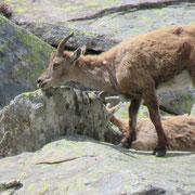 Stambecchi sopra l'Alpe di Piotta