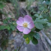 Rosa selvatica comune
