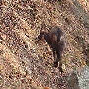 Durante la salita a Monte Brè, un camoscio vicino alla strada