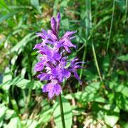 Orchide macchiata