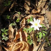 Anemone bianca
