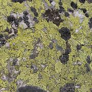 Lichene geografico