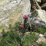 Rododendro rosso