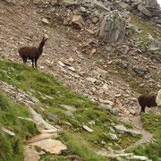 Incontriamo animali TIPICI della regione ..... Lama!!