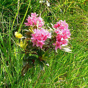 Rododendro irsuto