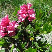 Rosa delle Alpi