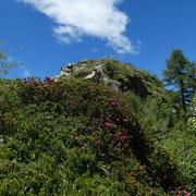 Cerchiamo il sentiero che scende a Scench tra i rododendri ......