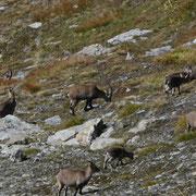 Gruppo di Stambecchi nella Val di Tusei