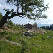 Alpe Arami 1446 m, si lavora .....