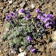 Linaiola alpina